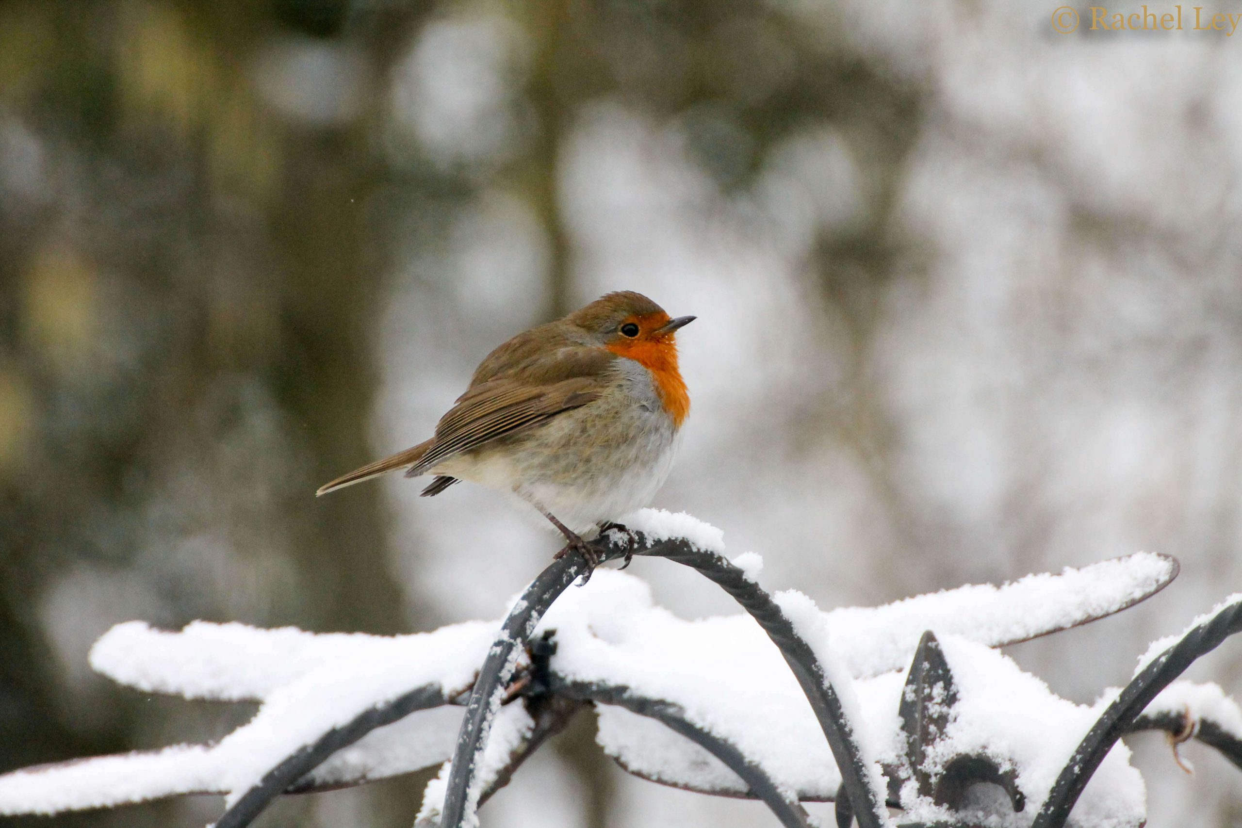 Robin sat on the top of the bird table in the snow.